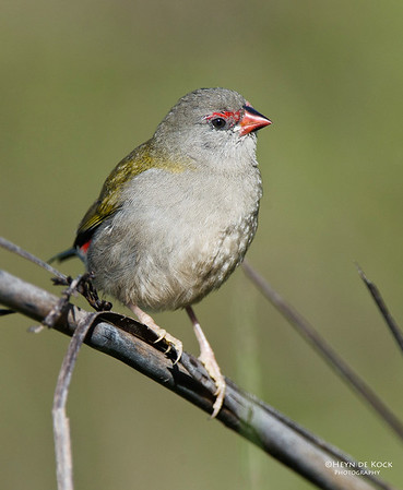 Red-browed Finch, Barren Grounds, NSW, Aus, Feb 2012