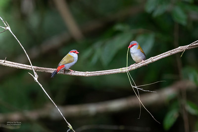 Red-browed Finch, Mt Lewis, QLD, Jan 2021-4