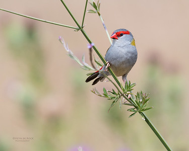 Red-browed Finch, Oxley Creek Common, Brisbane, QLD, Sept 2017-1