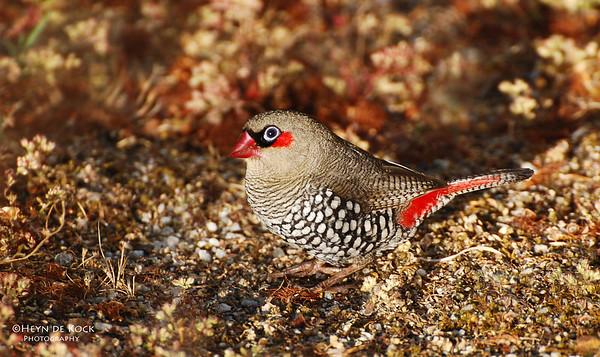 Red-eared Firetail, Walpole, WA, Aus, Jan 2008-1