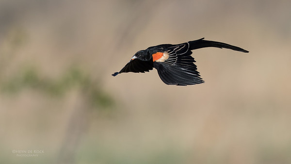 Long-tailed Widowbird, Hobhouse, FS, SA, Oct 2016-2