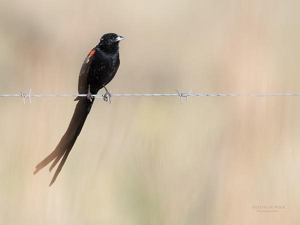 Long-tailed Widowbird, Hobhouse, FS, SA, Oct 2016-1