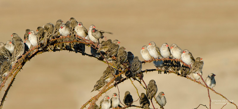 Red-billed Quelea, non-br, Hobhouse, RSA, Jul 2011