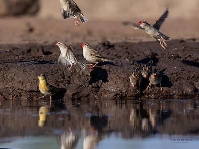 Red-billed Quelea, Mashatu GR, Botswana, May 2017-2