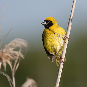 Sourthern Masked Weaver, Intaka Island, Cape Town, Sept 2016-2 (1)