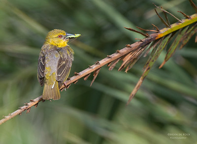 Village Weaver, f, Ithala NP, KZN, SA Jan 2014-1