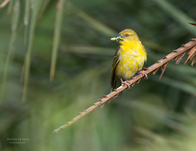 Village Weaver, f, Ithala NP, KZN, SA Jan 2014