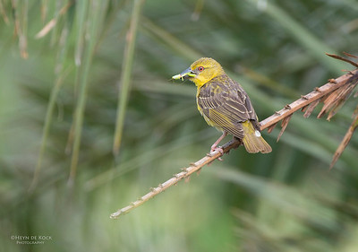 Village Weaver, f, Ithala NP, KZN, SA, Jan-2014-2