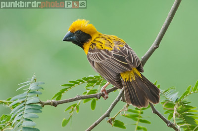 Asian Golden Weaver (Ploceus hypoxanthus)