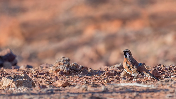 Chestnut-breasted Quail-thrush, Bowra, Cunnamulla, QLD, Aus, Sept 2017-2