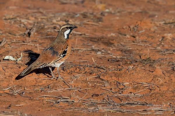 Chestnut-breasted Quail-thrush, Bowra, Cunnamulla, QLD, Aus, Sept 2017-1a