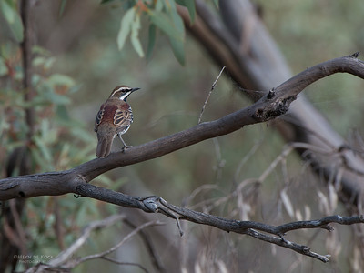 Chestnut Quail-thrush, Gluepot, SA, Aug 2012-2