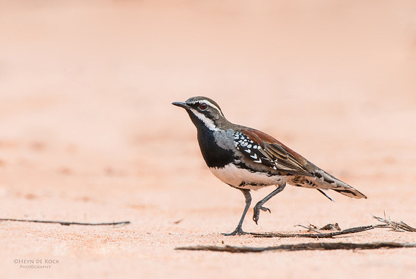 Chestnut Quail-Thrush, Gluepot, SA, Aus, Aug 2012
