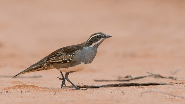 Chestnut Quail-thrush, f, Gluepot, SA, Aug 2012-2