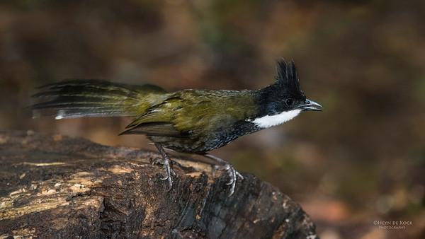 Eastern Whipbird, Lamington NP, QLD, Dec 2014