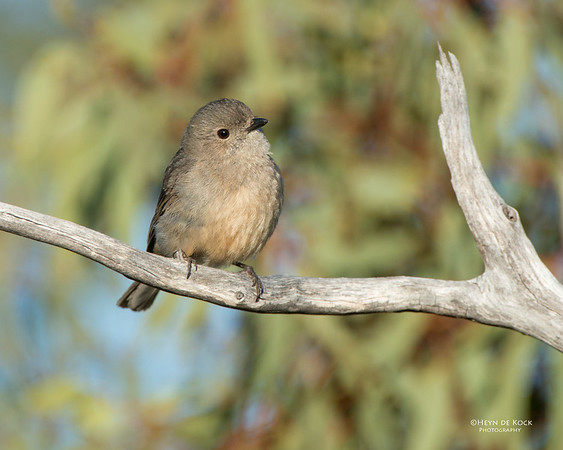 Golden Whistler, f, Gluepot, SA, Aug 2012-