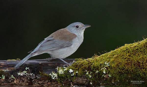 Grey Shrike-thrush, Bangalee, NSW, Jul 2014-1