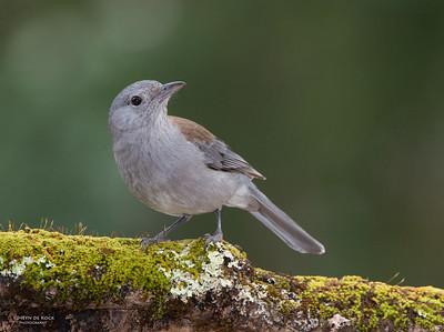 Grey Shrike-thrush, Bangalee, NSW, Jul 2014 copy