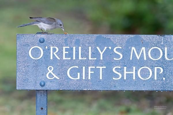 Grey Shrike-thrush, Lamington NP, QLD, Oct 2020-1
