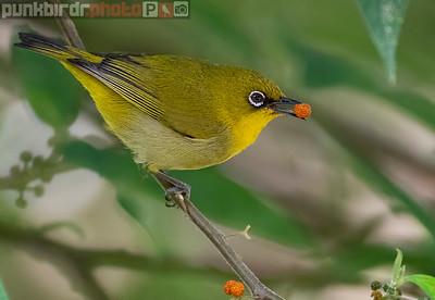 Oriental White-Eye - yellow morph (Zosterops palpebrosus siamensis)