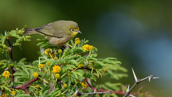 Cape White-eye, Sandveld NR, FS, SA, Sep 2015-1