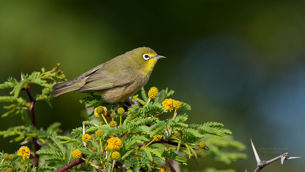 Cape White-eye, Sandveld NR, FS, SA, Sep 2015