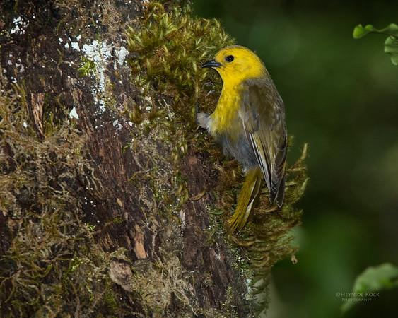 Yellowhead, Ulva Island, SI, NZ, Jan 2013-1