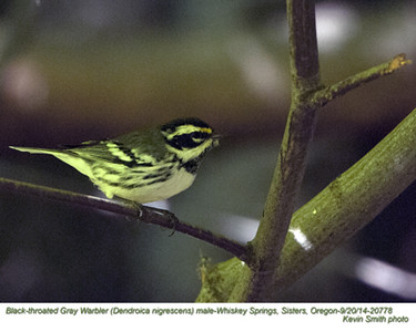 Black-throated Gray Warbler M20778