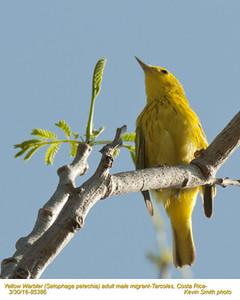 Yellow Warbler M85386