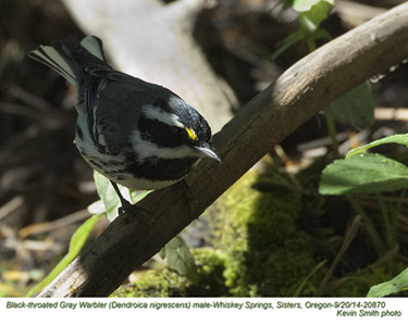 Black-throated Gray Warbler M20870