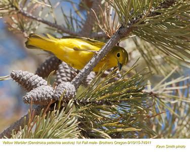 Yellow Warbler M74911