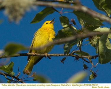 YellowWarblerM75751