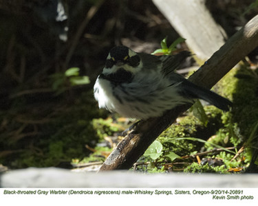 Black-throated Gray Warbler M20891