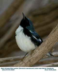 BlackThroatedBlueWarblerA30061