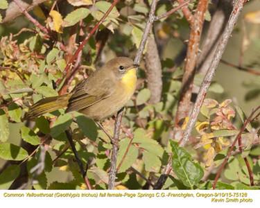 Common Yellowthroat F75128