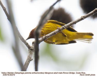 Yellow Warbler Mangrove M83272