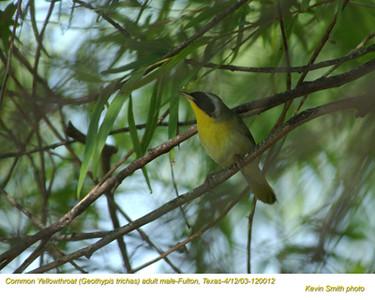 Common Yellowthroat M12012