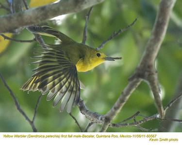 YellowWarblerM60567