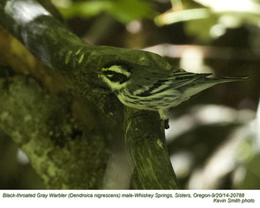 Black-throated Gray Warbler M20788