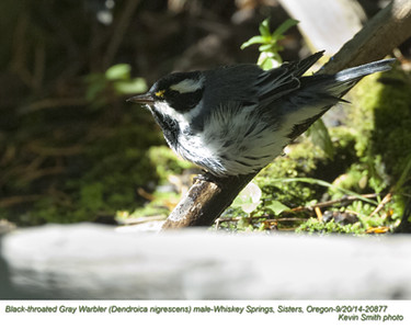 Black-throated Gray Warbler M20877