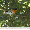 Flame-throated Warbler A82559
