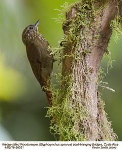 Wedge-billed Woodcreeper A86551