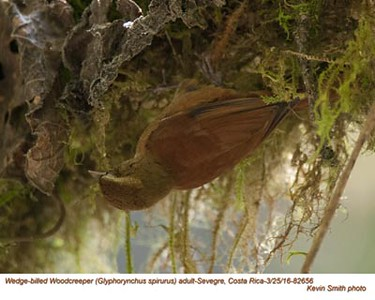 Wedge-billed Woodcreeper A82656