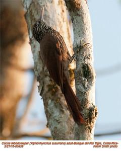 Cocoa Woodcreeper A83438
