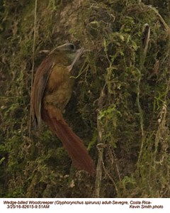 Wedge-billed Woodcreeper A82615