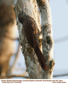 Streak-headed Woodcreeper A83438