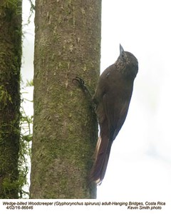 Wedge-billed Woodcreeper A86646