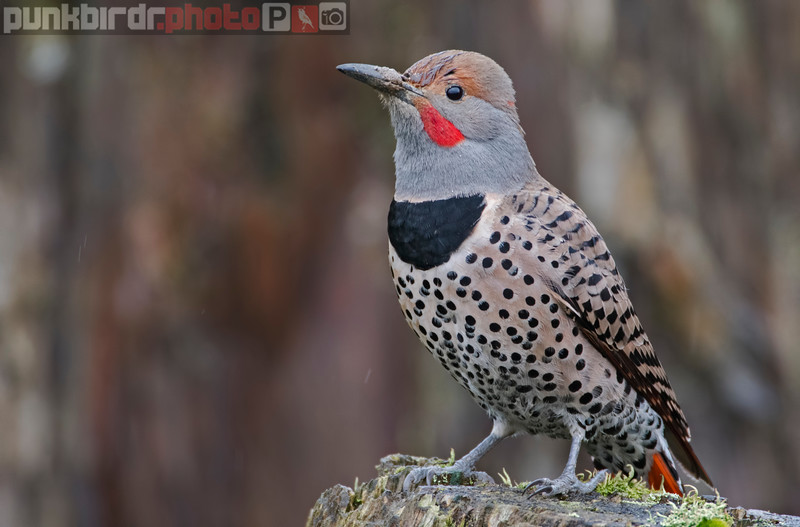 northern flicker (colaptes auratus)