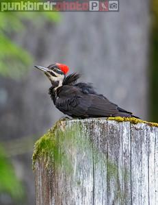 Pileated Woodpecker female (Dryocopus pileatus)