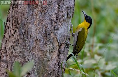 Black-headed Woodpecker (Picus erythropygius)